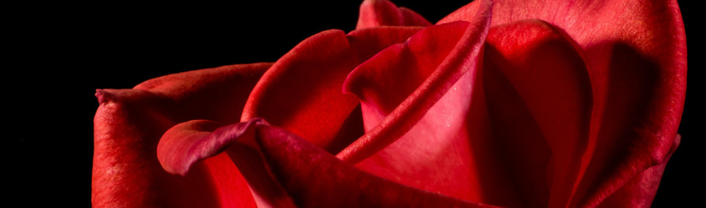 Symbole de l'amour gros plan sur une rose rouge veloutée